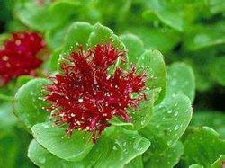 Uittreksel van de Wortel van 100% het Natuurlijke Rhodiola Rosea