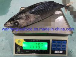 새로운 절기 1kg는 줄무늬 가다랭이를 올린다