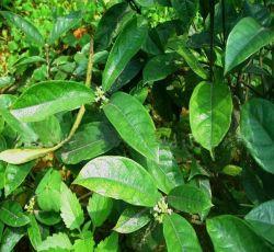 천연 식물 추출물 성욕을 위한 폴리소거 10%를 사용하여 바코팽 추출물 Function and Rheumatism Herb Herbal
