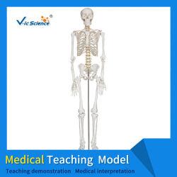 180cm menschliches Skelett Medizinisches Modell Anatomie Schädel Wirbel Becken Gelenk Skelettmodell