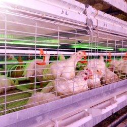Gabbia automatica della griglia della strumentazione dell'azienda avicola di buoni prezzi da vendere