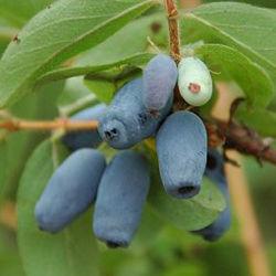 Gli antociani blu di 10:1 della polvere della frutta del caprifoglio dell'estratto botanico migliorano la vista