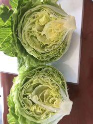 Frischer Bio Eisbergsalat Lieferant Frisches Gemüse