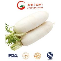 La máxima calidad de rábano blanco fresco de la salud de verduras frescas de rábano (500g)