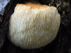 Hericium Erinaceus crinière de lion Extrait de champignons