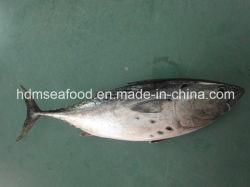 Hele ronde bevroren Bonito vis (Euthynnus affine)