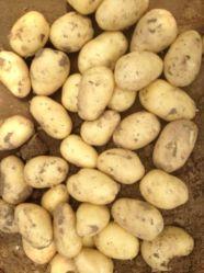 Shandong nouvelle récolte de pommes de terre fraîches de haute qualité (200G et jusqu')