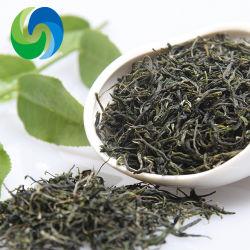 Commerce de gros chinois raffiné organiques des feuilles de thé vert Maofeng Thé minceur