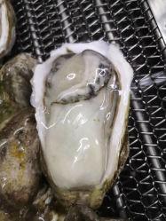 Большой размер сладкий вкус свежих морепродуктов в режиме реального времени 1 год с устриц в Shell
