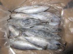 Congelados Mar Bonito para consumo humano no Sri Lanka
