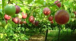 Les fruits séchés de pulvérisation de poudre Poudre de fruits de la passion Nicepal fabricant