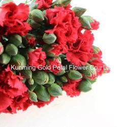 Wholsales maravillosa calidad de pulverización de flores frescas cortadas clavel rojo