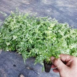 نباتات حقيقية عالية الجودة بالجملة Enteris Ensimformis Pteridium Tray/Plug sunling من مورّد البونساي الداخلي