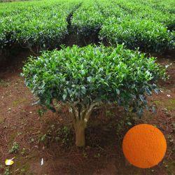 CAS 84650-60-2 teaflavinas y polifenoles extracto extracto de té negro
