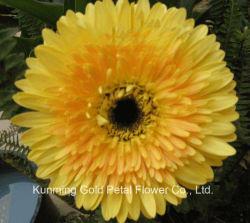 Les fleurs coupées fraîches naturelles décoratifs Gerberas Orange