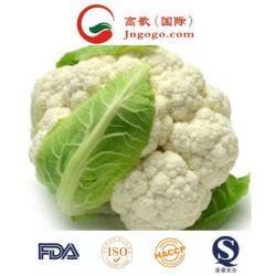 極度の品質の新しく白いカリフラワーの新鮮な野菜