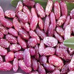 El crecimiento natural orgánica seca mejor venta de frijol moteado de color púrpura