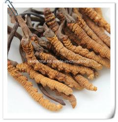 Порошок выдержки 10:1 Cordyceps Sinensis изготовления естественный