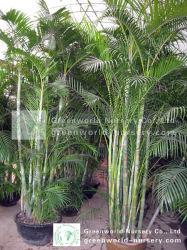 아reca Palms