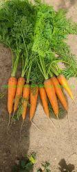 Commercio all'ingrosso fresco congelato Crop a dadini non sbucciati Rosso giallo organico Arancio dolce Baby verdure lavato Carota Prezzo da fornitore fabbrica