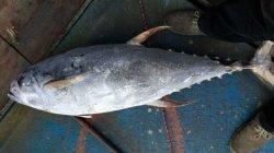 Мороженой рыбы тунца