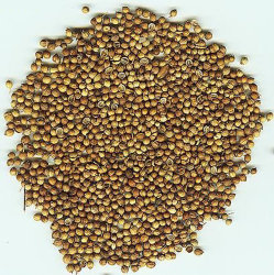 新しい穀物の/Highの品質のコエンドロの実
