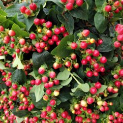 Fagiolo rosso ornamentale fresco dell'acacia della sfera del drago del fiore da taglio di sconto piacevole per la decorazione