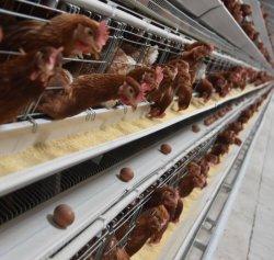층 닭 감금소 자동적인 닭 감금소 시스템 가축