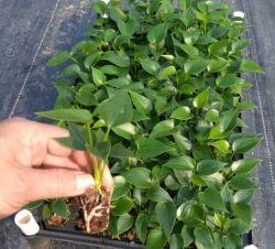 Comercio al por mayor calidad de las plantas Anthurium Andraeanum Real de la bandeja de Cultivo de Tejidos/Plug Seedling de proveedor de Bonsai de interior