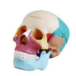 [ليف-سز] جمجمة نموذج مع يلوّن [بونس]