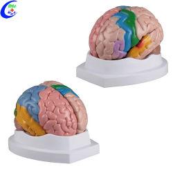 가르치는 인간적인 플라스틱 두뇌 3D 의학 모형 의학 훈련 해부학 모형
