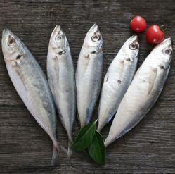 Scad Caballa congelados de pescado congelado Ronda Scad