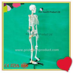 Ligamento con la anatomía humana esqueleto modelo 3D.