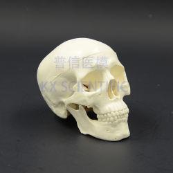 مصغّرة جمجمة نموذج 3 أجزاء ترويجيّ هبة طبّيّ يستعمل