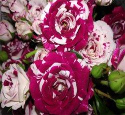 Frischer Schnitt-Blumen-Rosen-Mandarine-Ente-Luftblasen-Spray Rose
