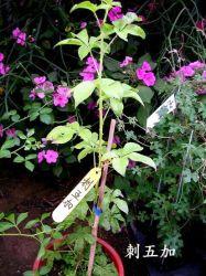 De Siberische Wortels en Wortelstokken Ciwujia Eleutheroside&#160 van de Installatie van Araliaceae van het Uittreksel van Ginsengen; B + euro 0.8% het Uittreksel Eleutheroside van het Poeder van Eleutherocus Senticosus