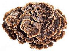 Coriolus versicolor Extracto de hongos medicinales para inducir la producción de inmunoglobulina