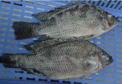 China Bevroren Zwarte Tilapia Uitgehaald en Geschraapte Vissen (Oreochromis Niloticus, Oreochromis Mossambicus)