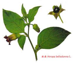 Extracto de la belladona