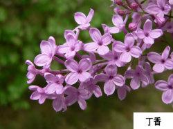 100% Pure Clove Oil Price Clove Essential Oil aromatherapie Love Bladolie