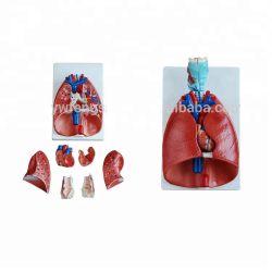 医療教育シミュレーションタイププラスチック 3D 人体の肺モデル