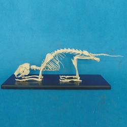 高品質の生物学の教授動物のウサギ骨組ペットモデル(R190121)