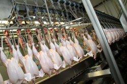 小さい容量300 - 500bph家禽は屠殺ライン装置を引込める