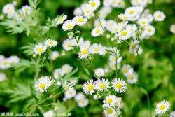 Fabrik-Zubehör-direkt konkurrenzfähige Preise 100% natürliches Chrysanthemi Indici Flos P.E