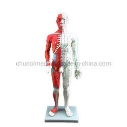 Анатомия Professional 60см медицинской акупунктуры &мышцы модели