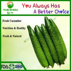 Экспорт органических Зеленый свежий огурец в верхней части продажи