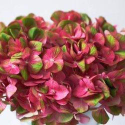 China Banheira de venda de flores frescas cortadas Hortência para decoração