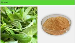 도매 녹차 추출물 98% 폴리페놀 98% EGCG 80% 캐치신
