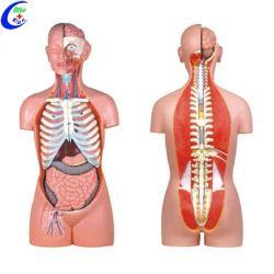 Menschliches anatomisches Doppelgeschlechts-Torso-Modell