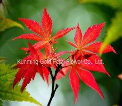 De belles plantes décoratives naturelles Feuilles fraîches coupées Maple
